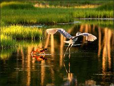 Great Salt Marsh - Migrating Birds